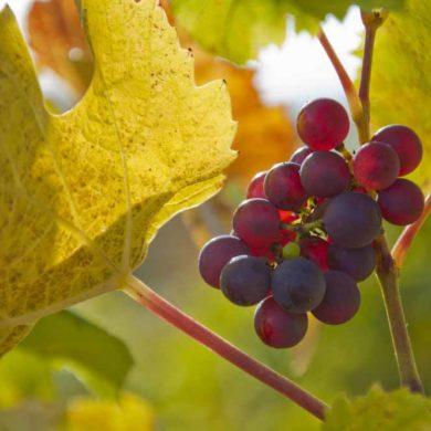 Weinlaub und Weintrauben - Wein als Inspritation © Owen Weber/ Shutterstock